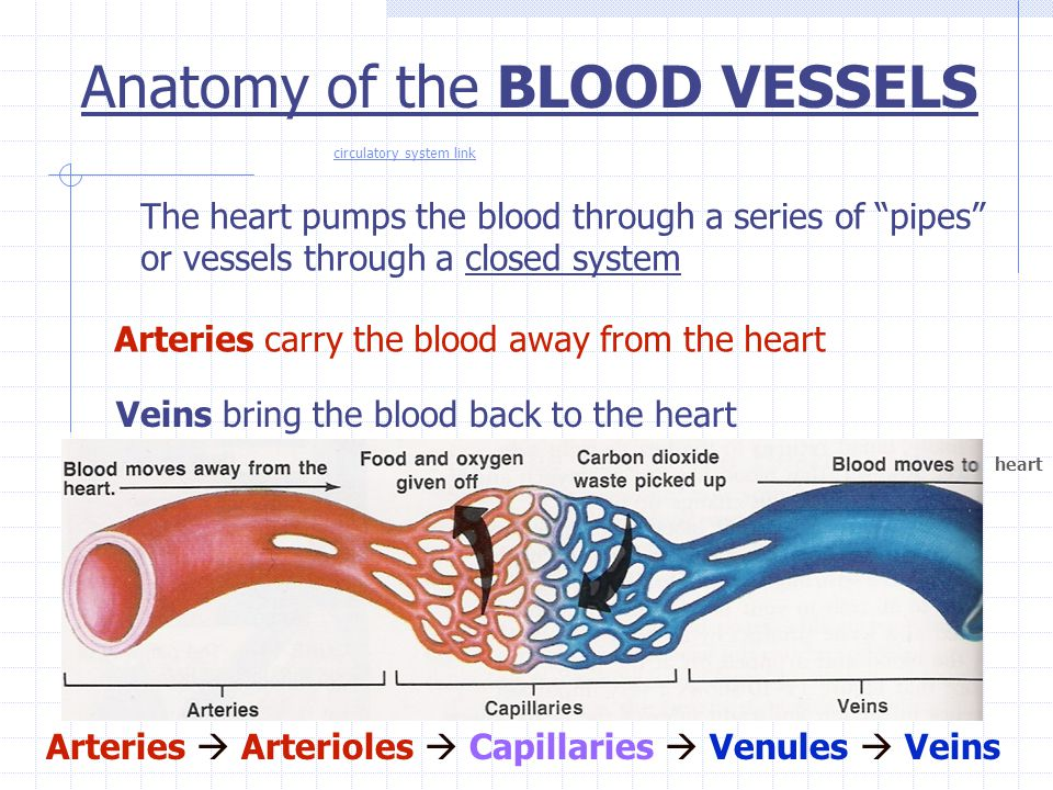 Anatomy of the BLOOD VESSELS