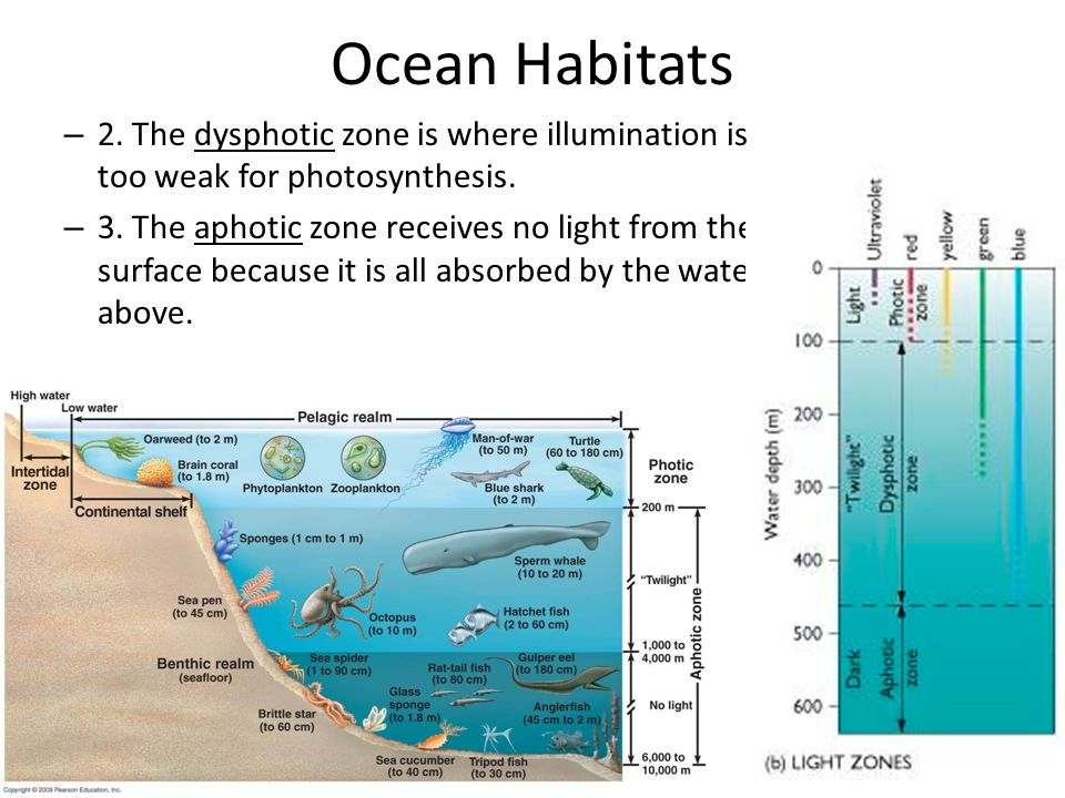Ocean Habitats 2. The dysphotic zone is where illumination is too weak for photosynthesis.