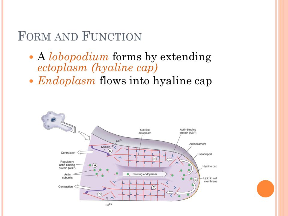 Form and Function A lobopodium forms by extending ectoplasm (hyaline cap) Endoplasm flows into hyaline cap.