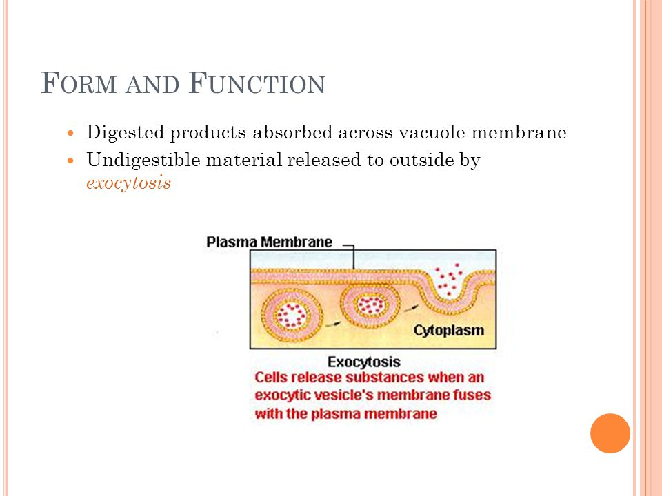 Form and Function Digested products absorbed across vacuole membrane