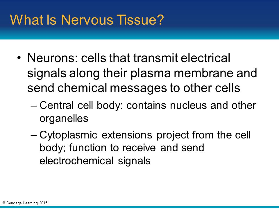 What Is Nervous Tissue Neurons: cells that transmit electrical signals along their plasma membrane and send chemical messages to other cells.
