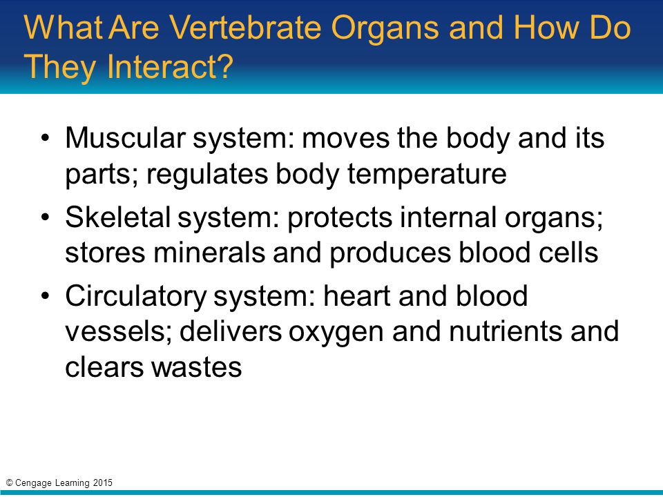 What Are Vertebrate Organs and How Do They Interact