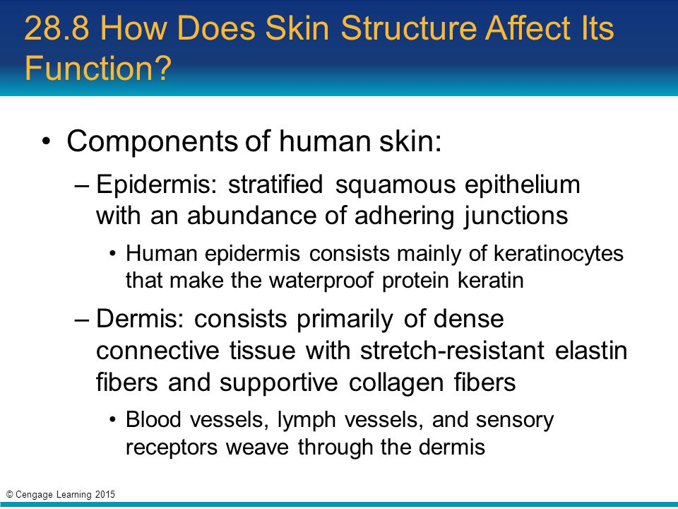 28.8 How Does Skin Structure Affect Its Function