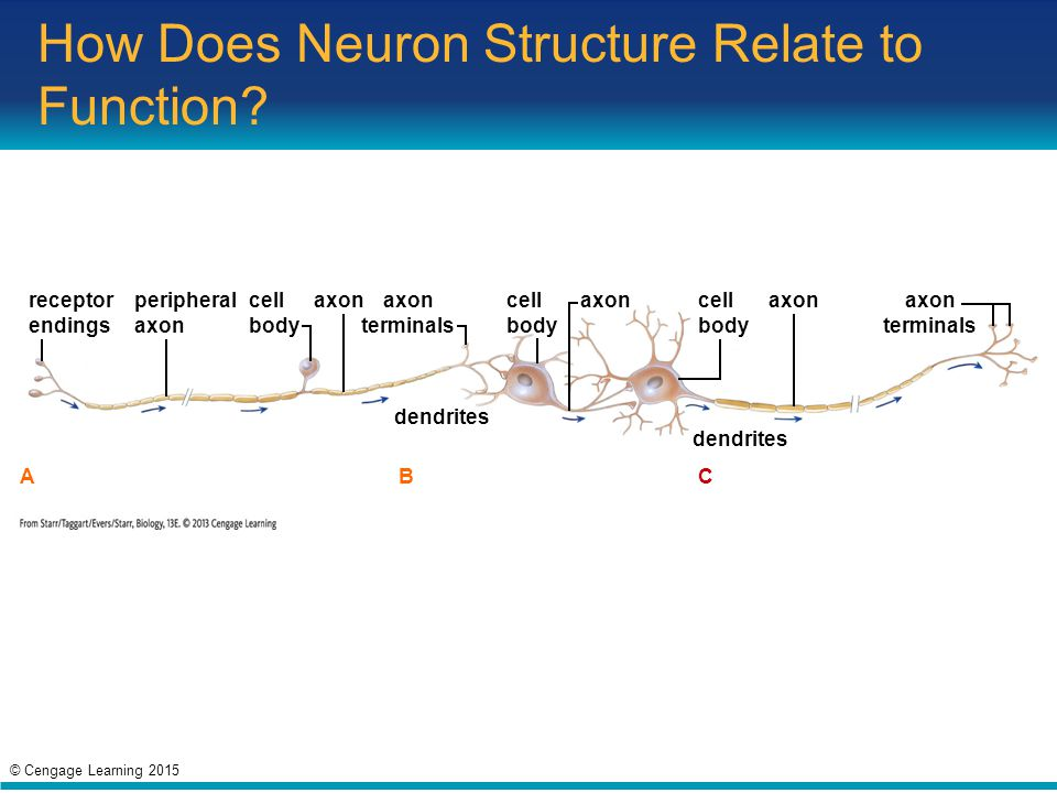 How Does Neuron Structure Relate to Function