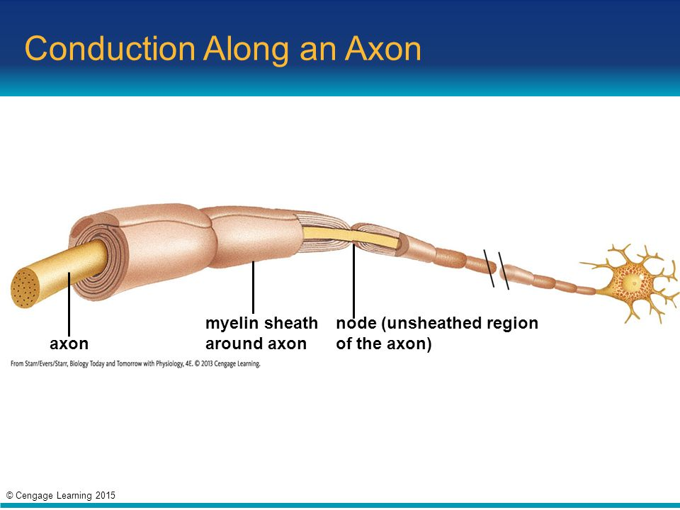 Conduction Along an Axon