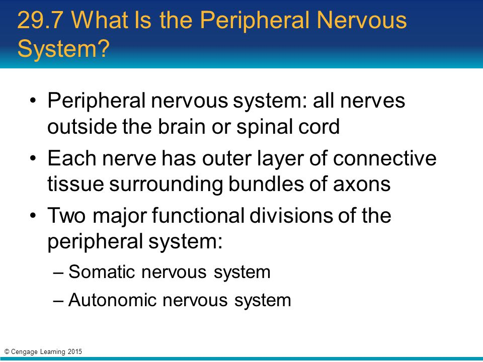 29.7 What Is the Peripheral Nervous System