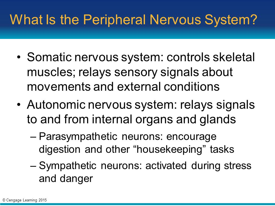 What Is the Peripheral Nervous System