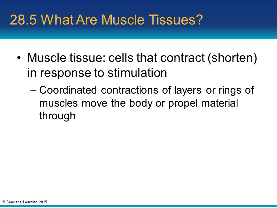 28.5 What Are Muscle Tissues