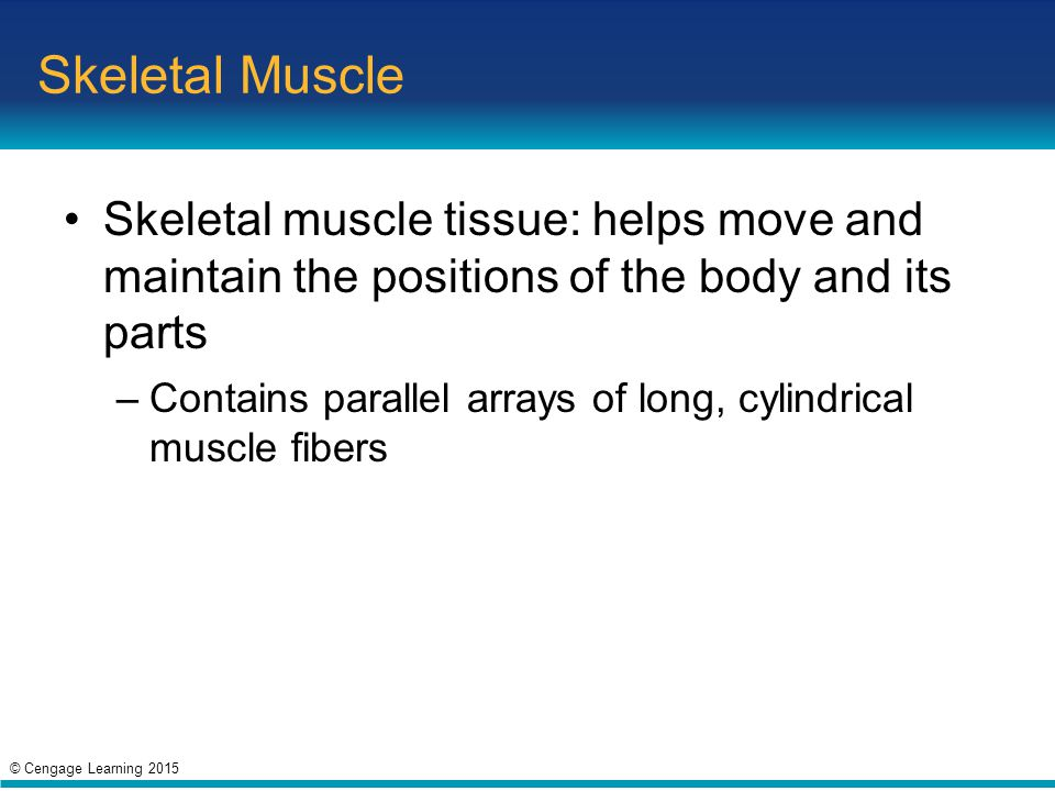 Skeletal Muscle Skeletal muscle tissue: helps move and maintain the positions of the body and its parts.