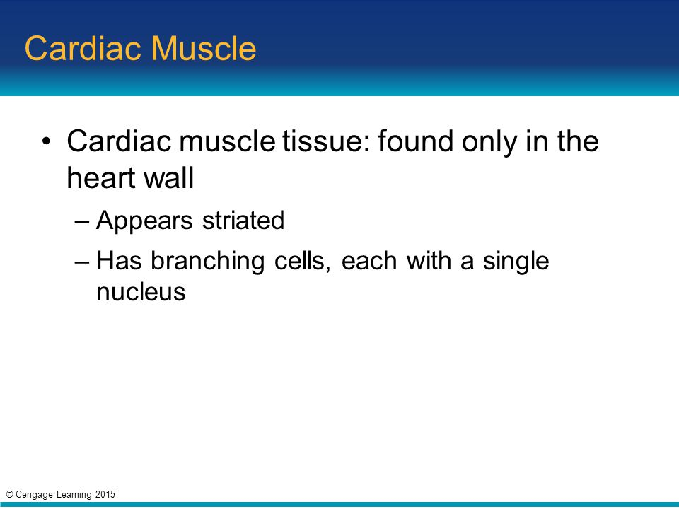 Cardiac Muscle Cardiac muscle tissue: found only in the heart wall