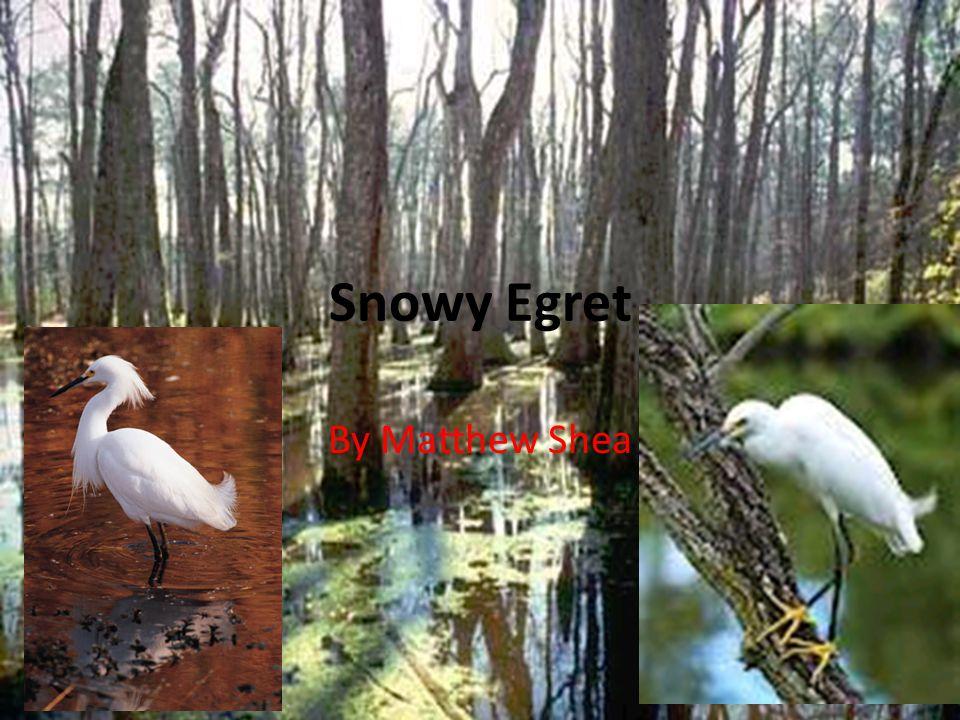Snowy Egret By Matthew Shea