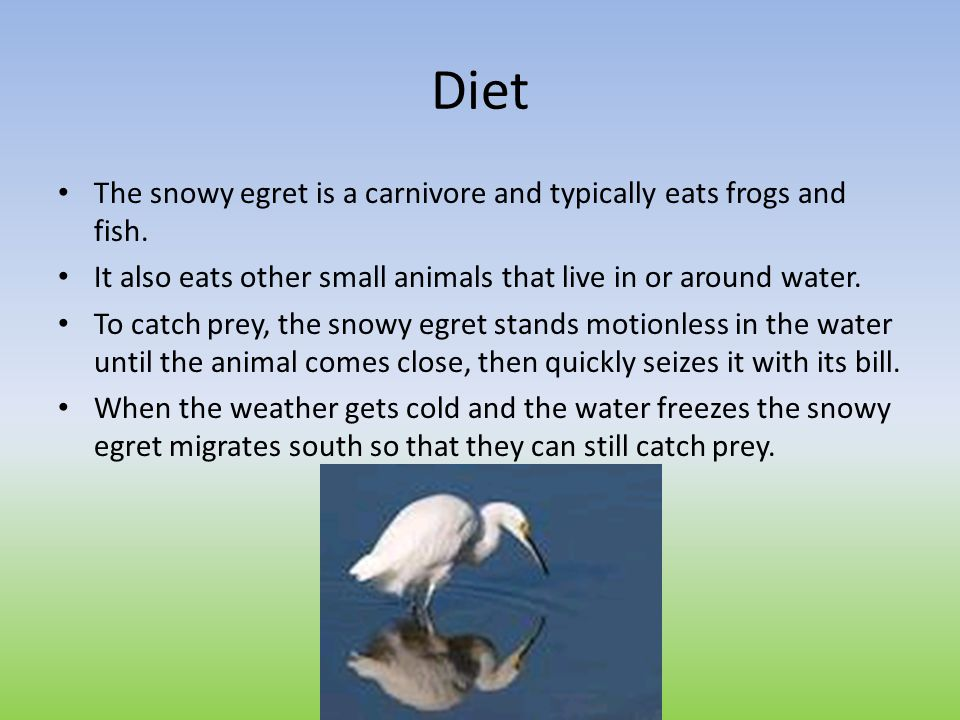 Diet The snowy egret is a carnivore and typically eats frogs and fish.