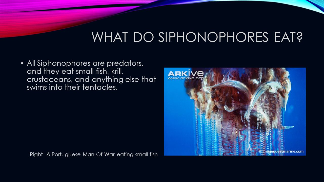 What do Siphonophores eat