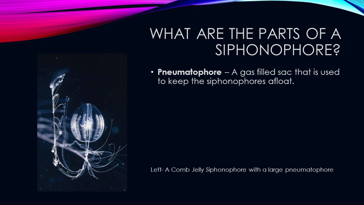 What are the parts of a siphonophore