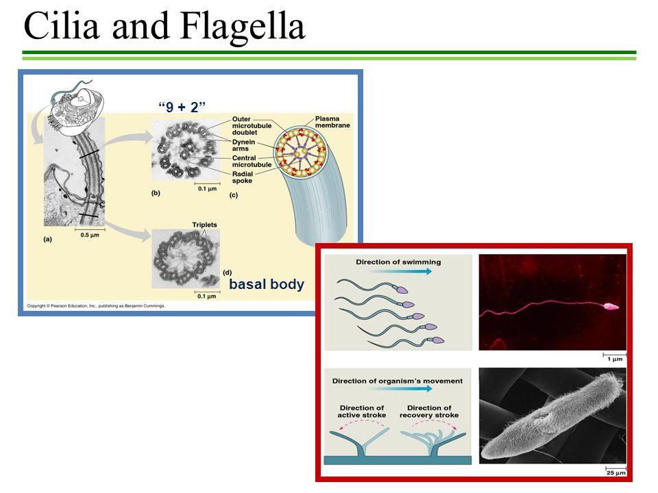 Cilia and Flagella 9 + 2 basal body