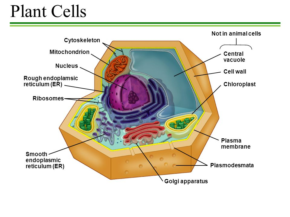 Plant Cells Not in animal cells Cytoskeleton Mitochondrion Central