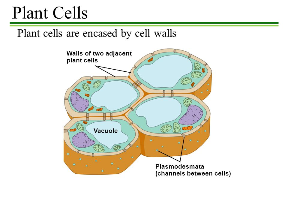 Plant Cells Plant cells are encased by cell walls