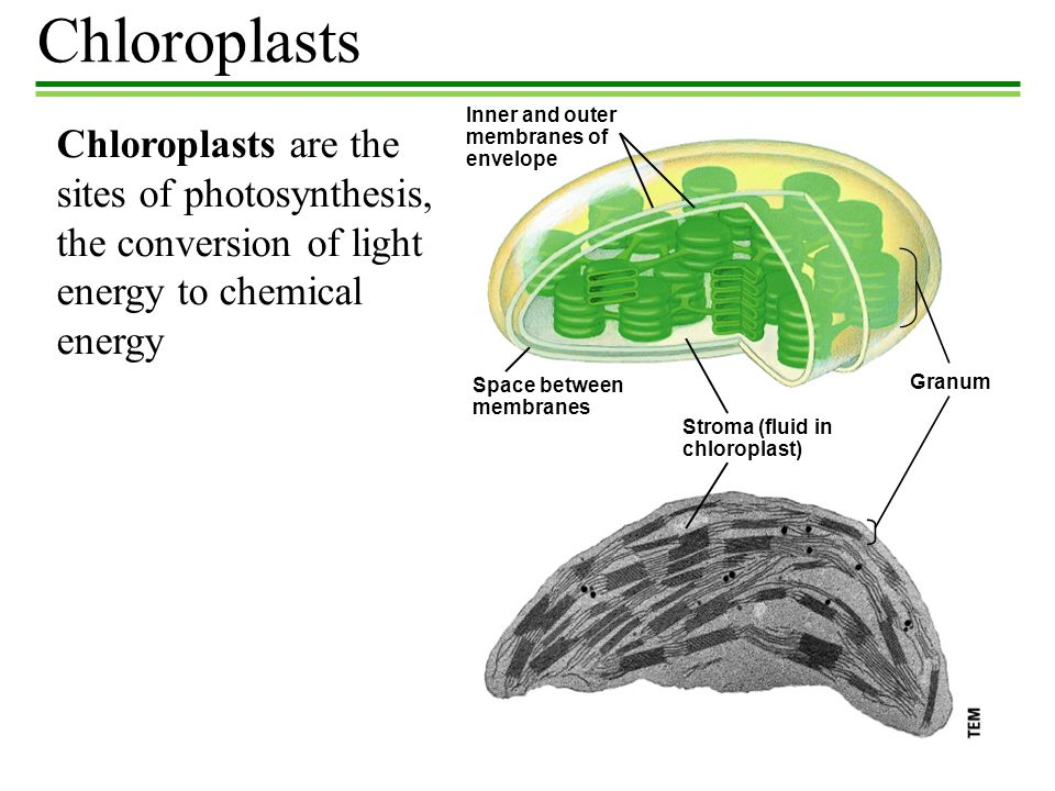 Chloroplasts Inner and outer. membranes of. envelope.