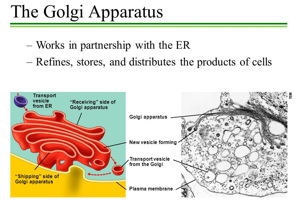 The Golgi Apparatus Works in partnership with the ER