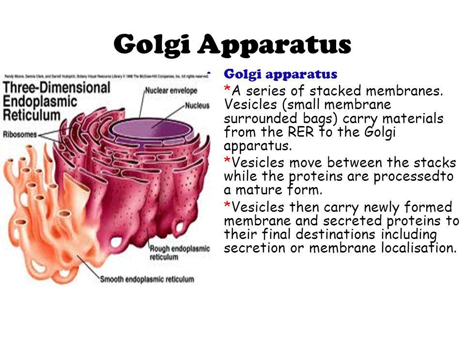 Golgi Apparatus Golgi apparatus