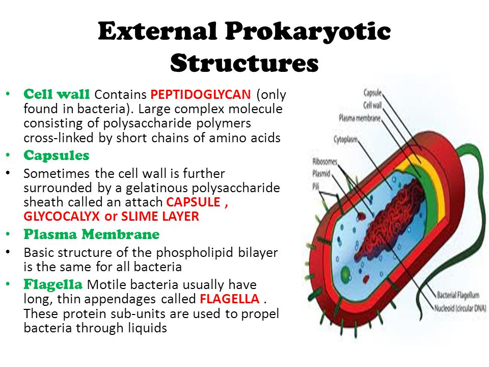 External Prokaryotic Structures