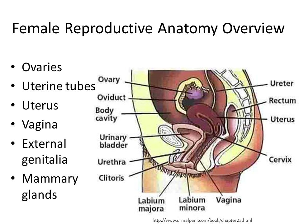 Female Reproductive Anatomy Overview