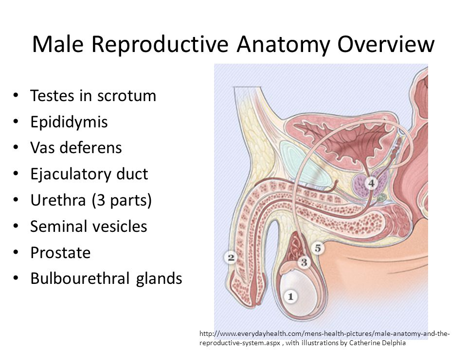 Male Reproductive Anatomy Overview