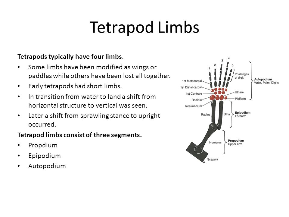 Tetrapod Limbs Tetrapods typically have four limbs.
