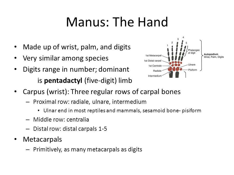 Manus: The Hand Made up of wrist, palm, and digits