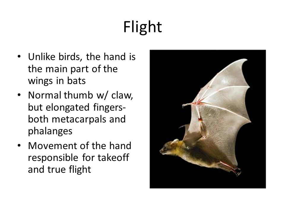Flight Unlike birds, the hand is the main part of the wings in bats