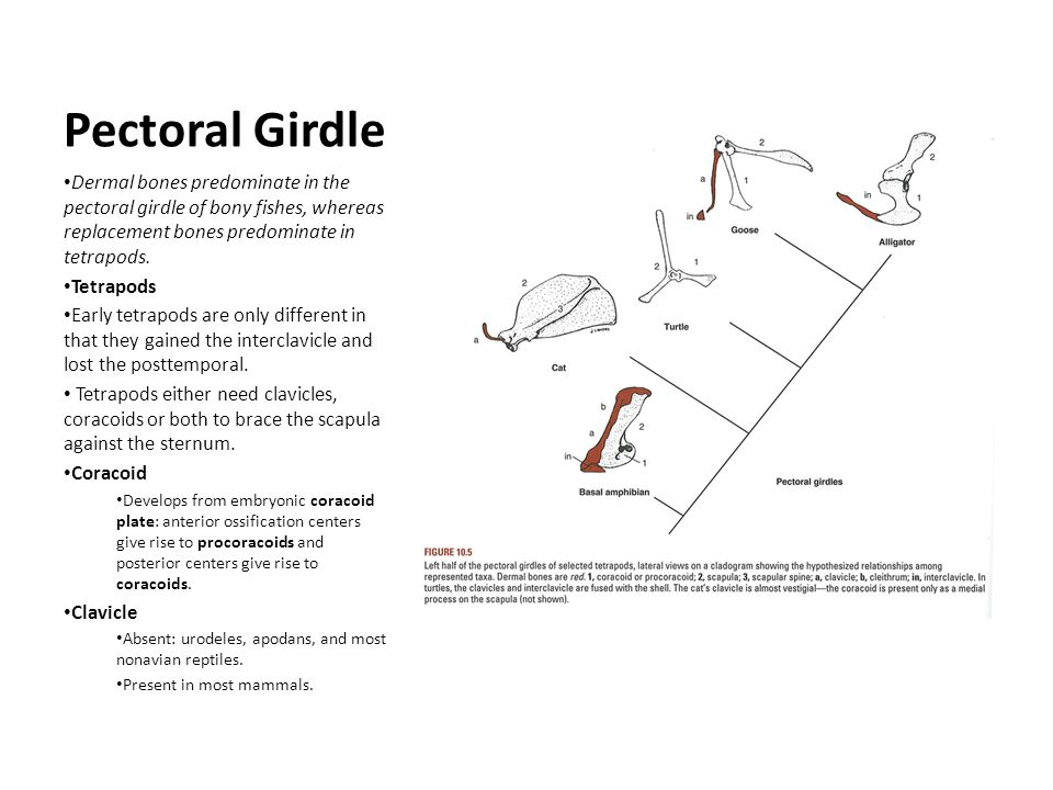 Pectoral Girdle Dermal bones predominate in the pectoral girdle of bony fishes, whereas replacement bones predominate in tetrapods.