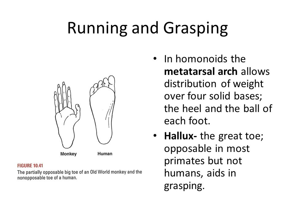 Running and Grasping In homonoids the metatarsal arch allows distribution of weight over four solid bases; the heel and the ball of each foot.