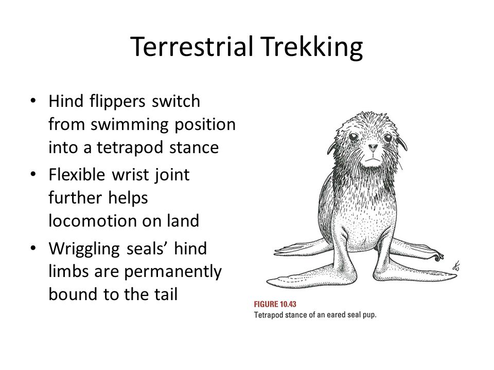 Terrestrial Trekking Hind flippers switch from swimming position into a tetrapod stance. Flexible wrist joint further helps locomotion on land.
