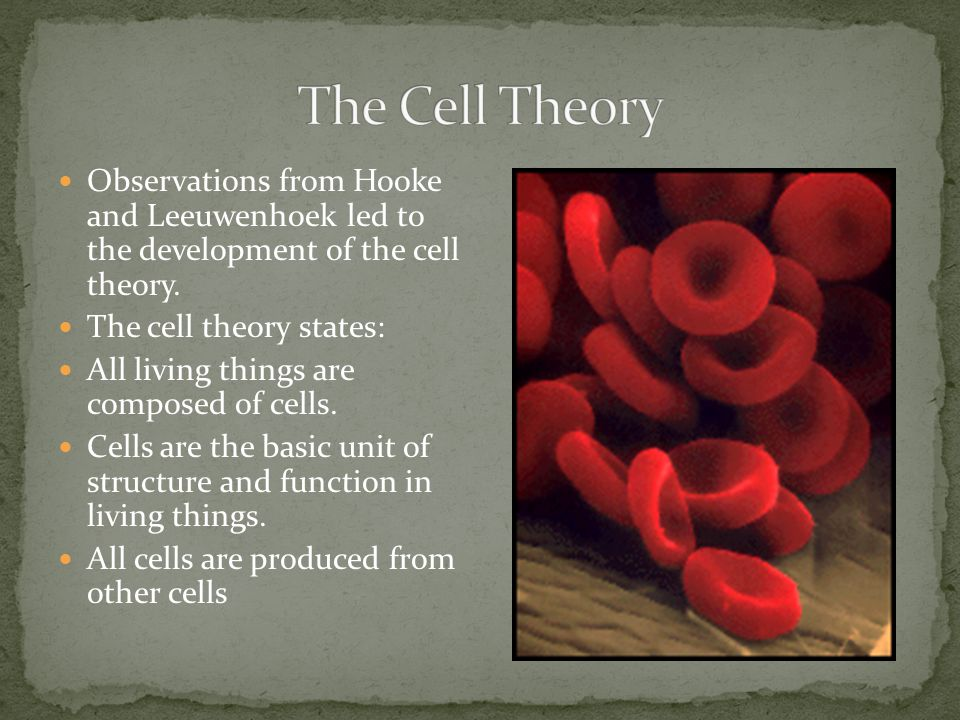 The Cell Theory Observations from Hooke and Leeuwenhoek led to the development of the cell theory.