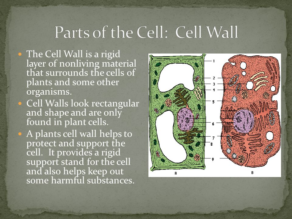 Parts of the Cell: Cell Wall