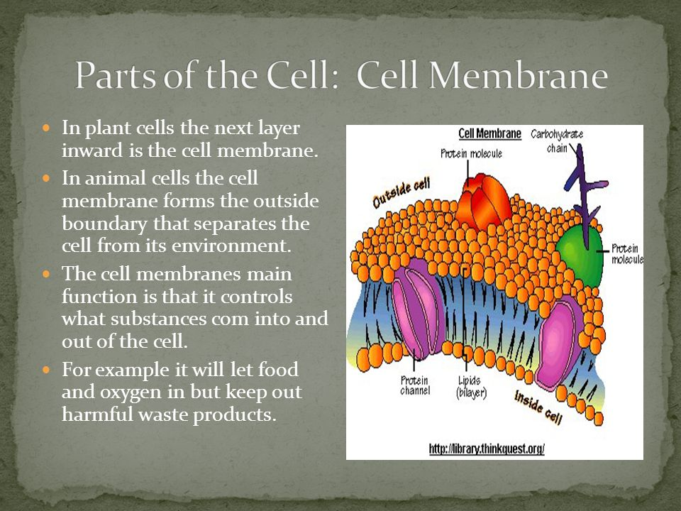 Parts of the Cell: Cell Membrane