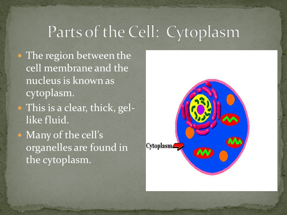 Parts of the Cell: Cytoplasm