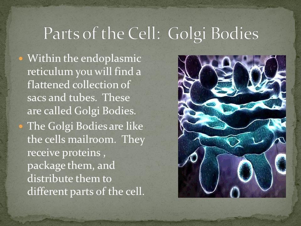 Parts of the Cell: Golgi Bodies