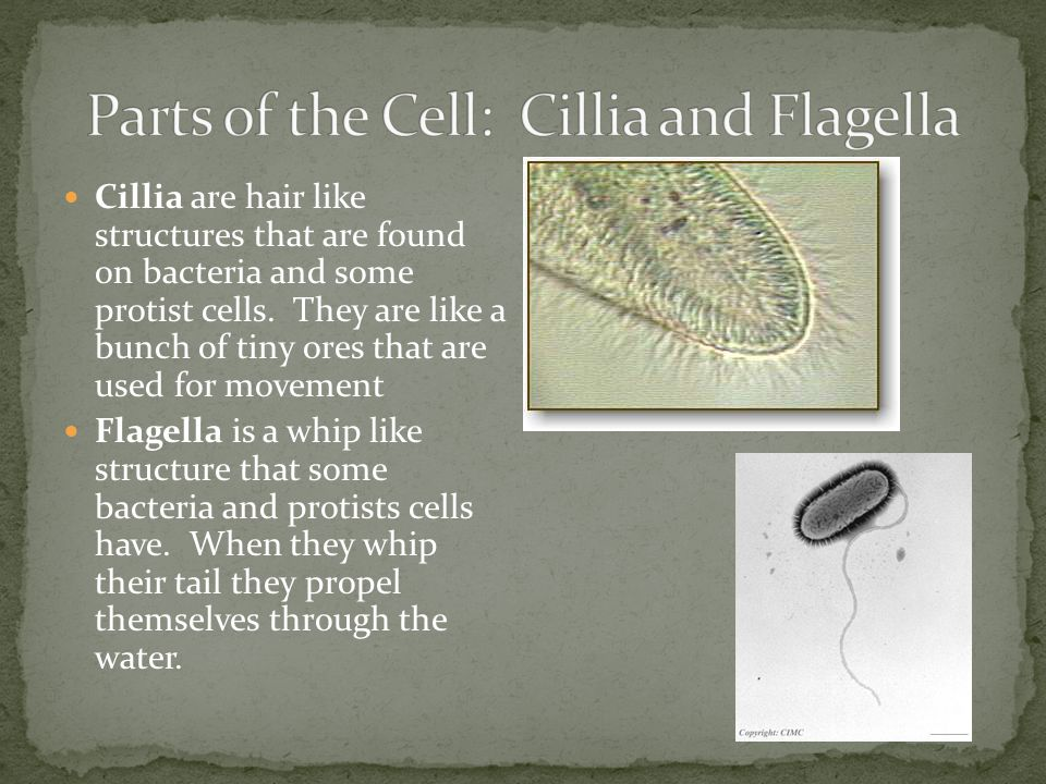 Parts of the Cell: Cillia and Flagella