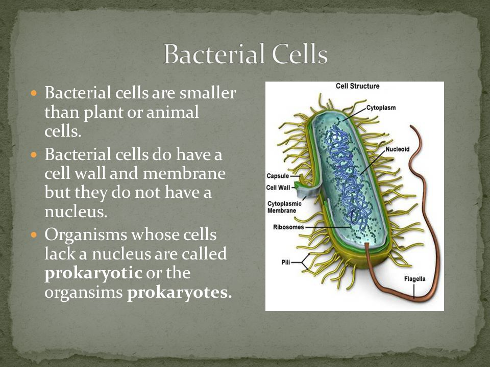 Bacterial Cells Bacterial cells are smaller than plant or animal cells.
