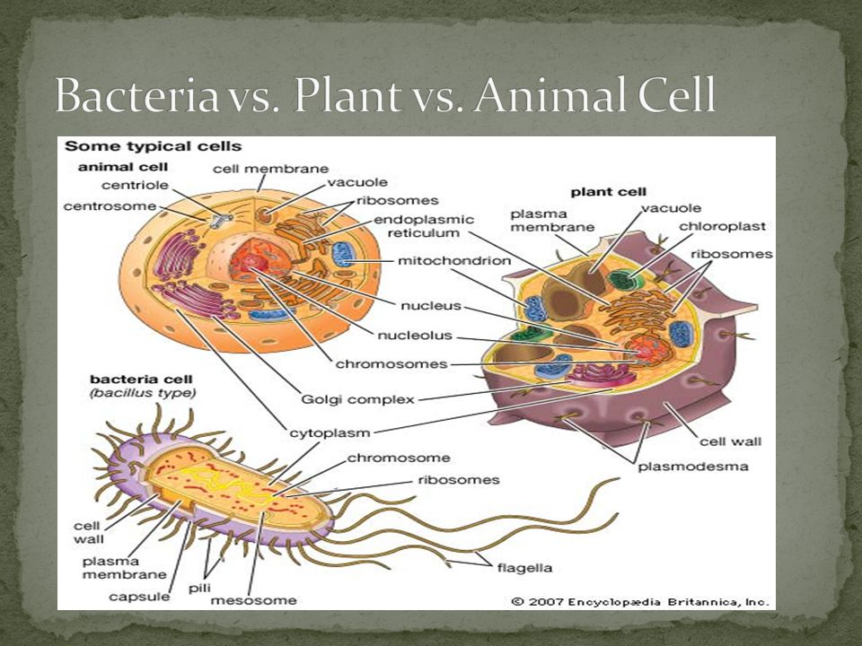 Bacteria vs. Plant vs. Animal Cell