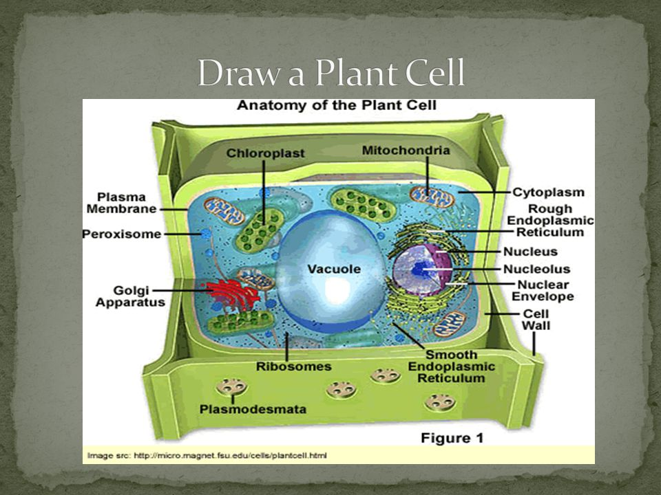Draw a Plant Cell