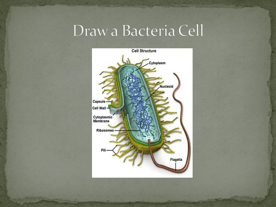 Draw a Bacteria Cell