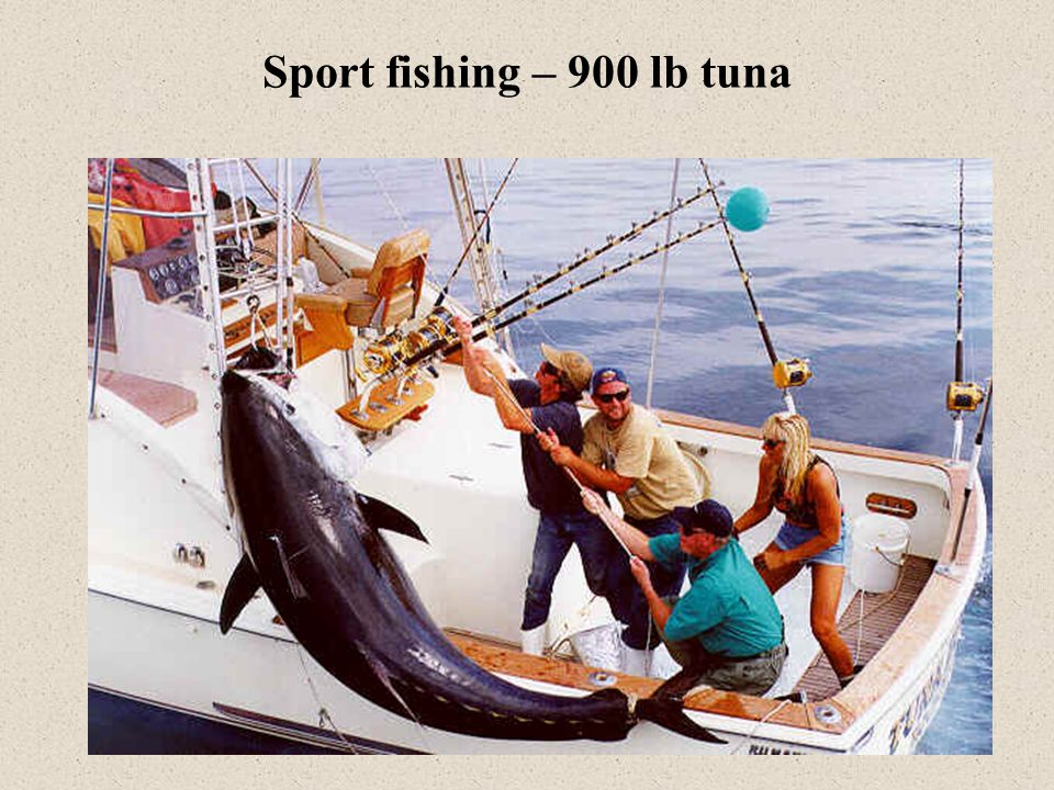 Sport fishing – 900 lb tuna