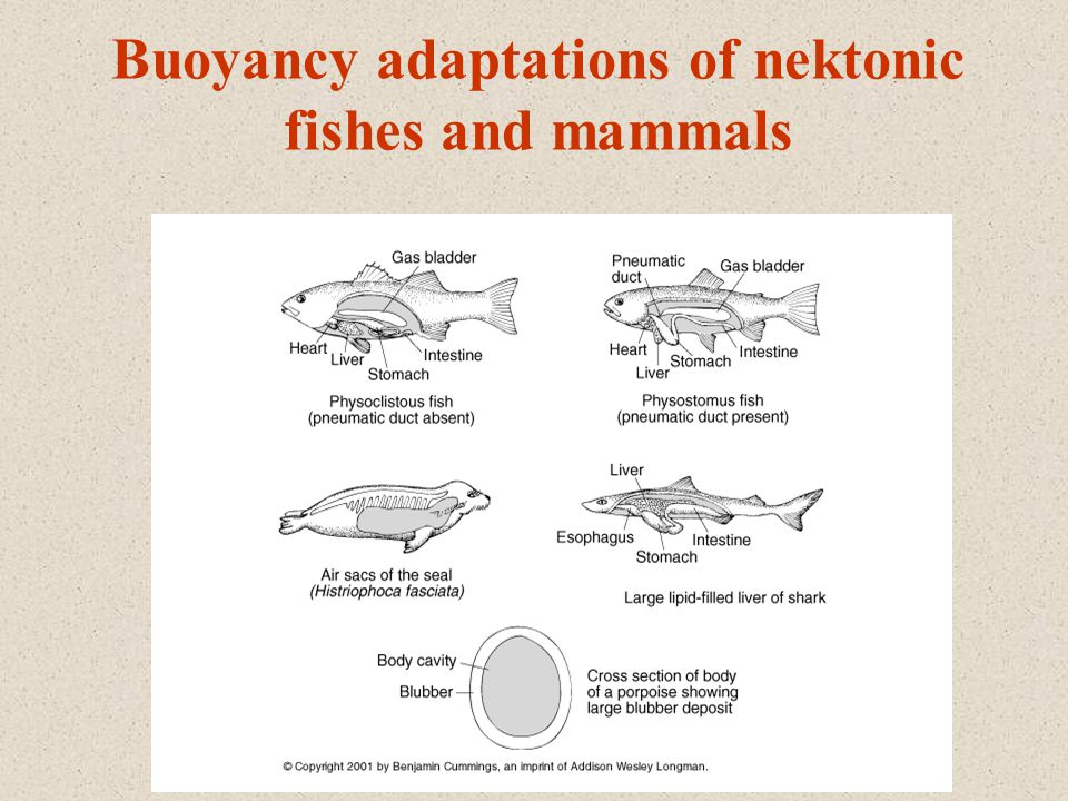 Buoyancy adaptations of nektonic fishes and mammals