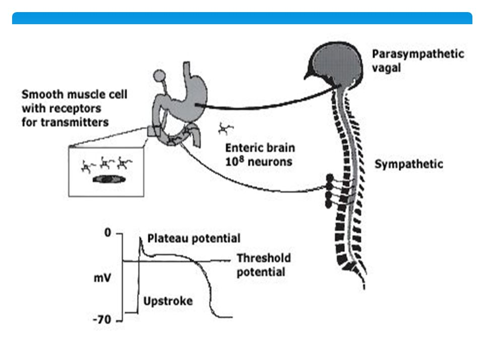The motor function of the gut is controlled at three main levels: extrinsic neural control (vagal and sympathetic); intrinsic neural control; and excitability of smooth muscle cells controlled by transmitters.