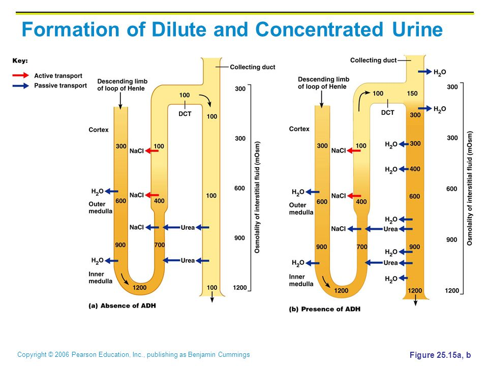 Formation of Dilute and Concentrated Urine