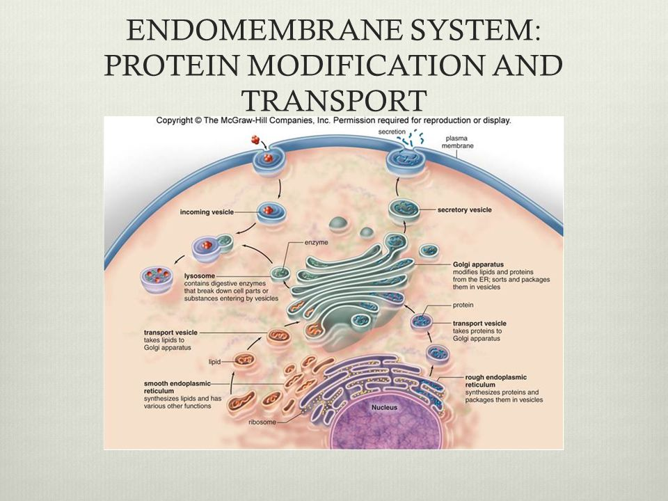 ENDOMEMBRANE SYSTEM: PROTEIN MODIFICATION AND TRANSPORT