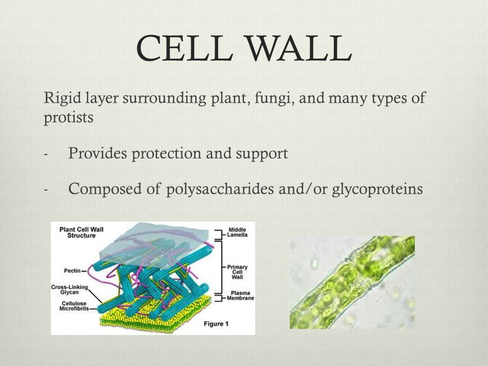 CELL WALL Rigid layer surrounding plant, fungi, and many types of protists. Provides protection and support.