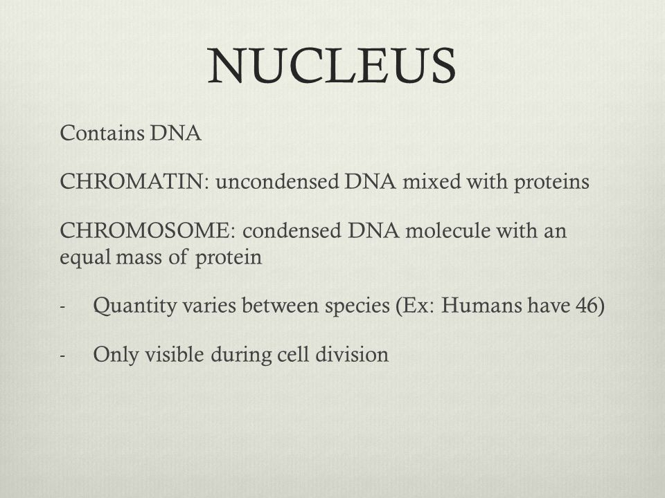 NUCLEUS Contains DNA CHROMATIN: uncondensed DNA mixed with proteins